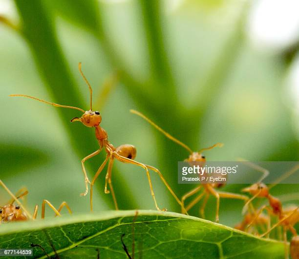 Red Ants On Leaf