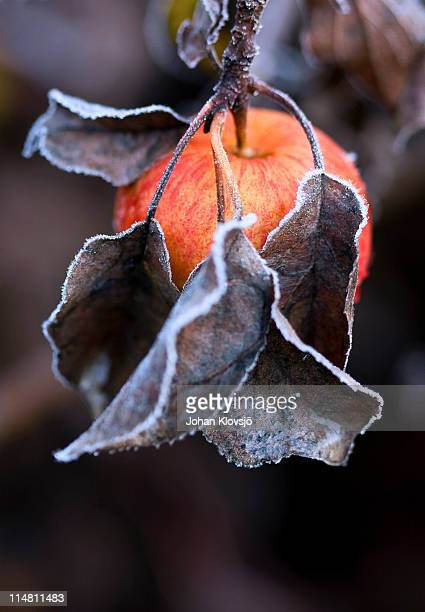 Red apple and frosty leaves
