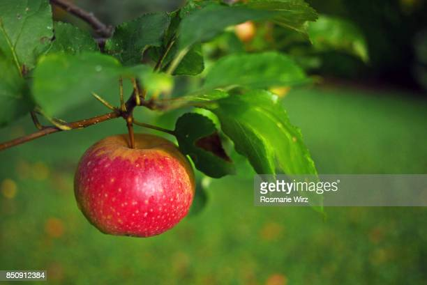 Red apple hanging on branch