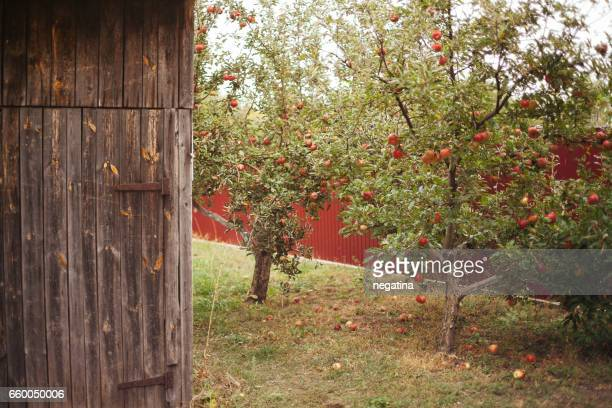 red apple trees and a part of old wooden house