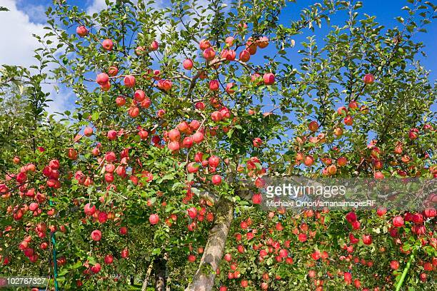Red apple trees in an orchard. Hirosaki, Aomori Prefecture, Japan