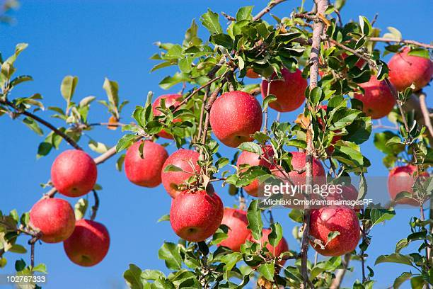 red apple trees in an orchard. hirosaki, aomori prefecture, japan - aomori prefecture stock pictures, royalty-free photos & images