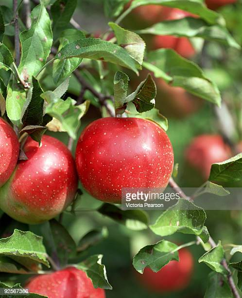 Red apples growing on tree