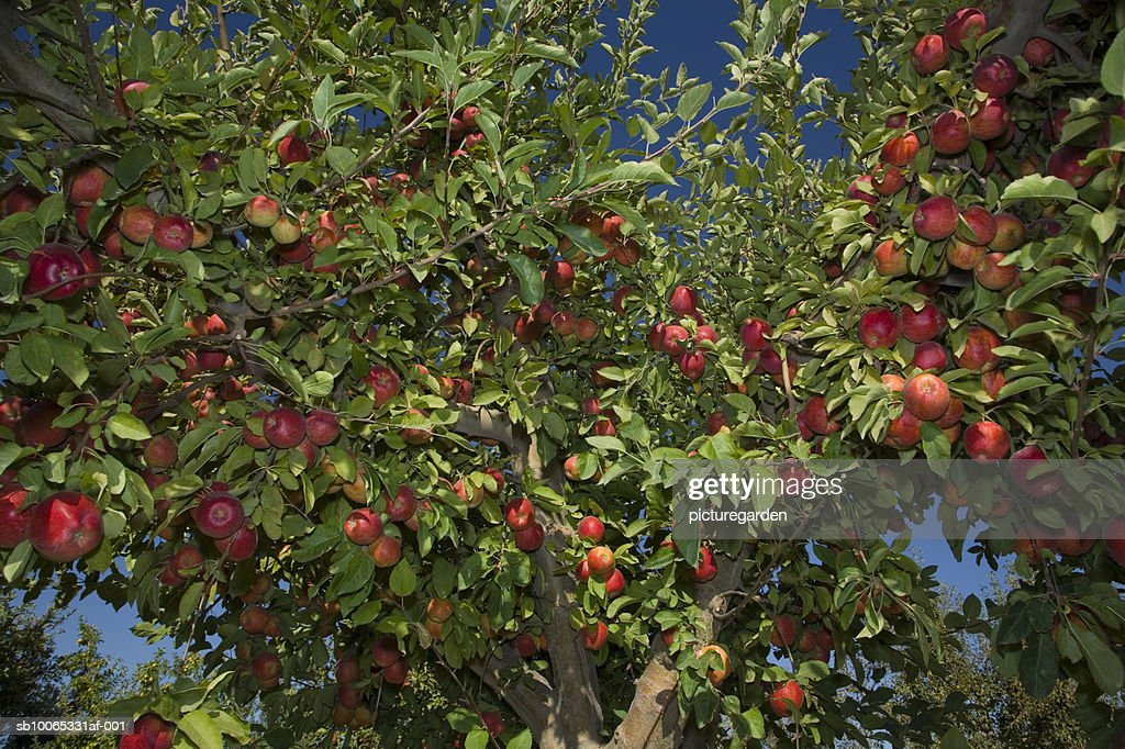 Red apples hanging on tree, low angle view : Foto stock