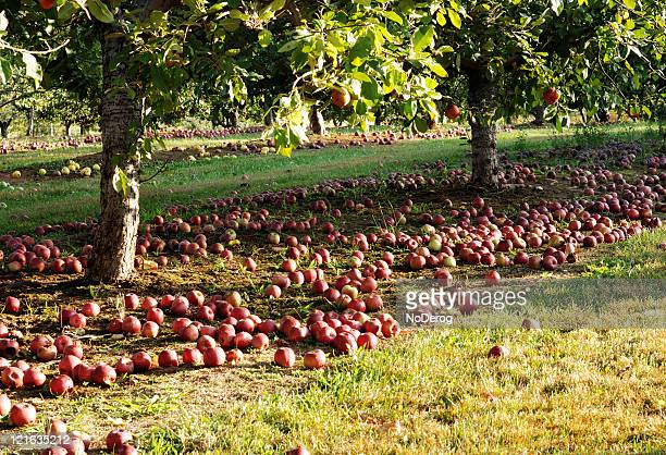 Red apples on ground in orchard.