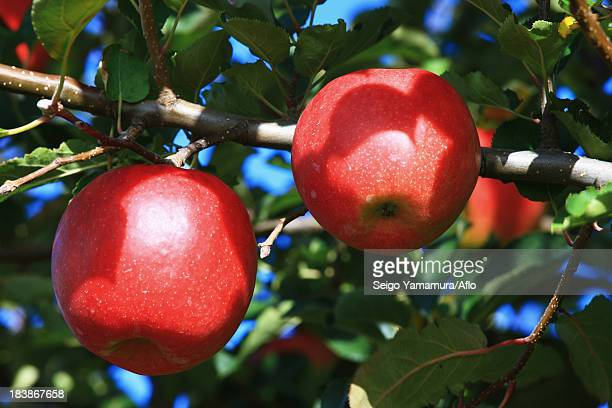 red apples - aomori prefecture stock pictures, royalty-free photos & images