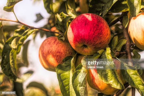 Red Apples Ripening  on the Tree Branch