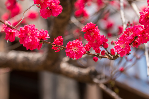 Red Apricot Blossoms - gettyimageskorea