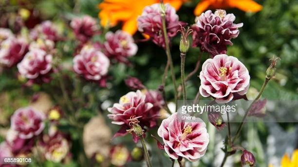 red aquilegia - columbine flower stock pictures, royalty-free photos & images