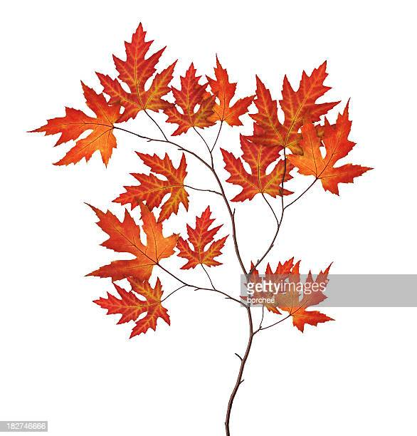 red autumn branch - maple tree stock pictures, royalty-free photos & images