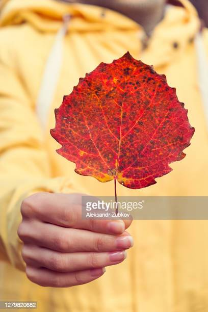red autumn leaf in the hands of a girl. a woman in a bright yellow jacket holds an aspen leaf - 西シベリア ストックフォトと画像
