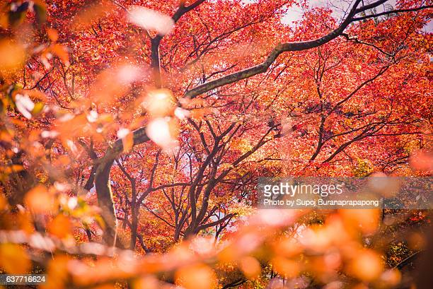 Red autumn leaf lighted up by sunshine in Kyushu, Japan.