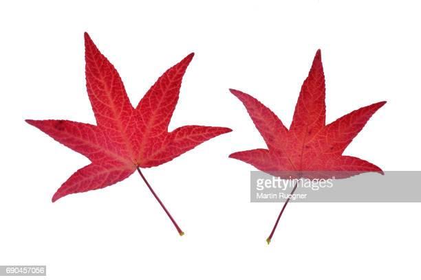 Red autumn leaf of Sweetgum / Sweet Gum / Liquidambar (Liquidambar styraciflua), against white background.