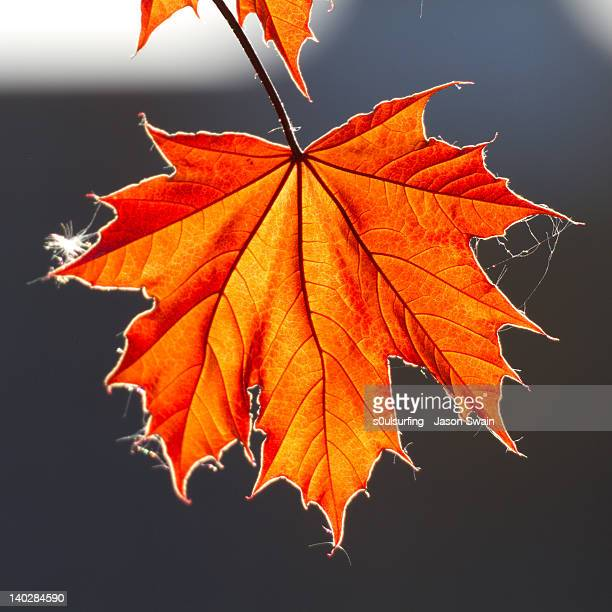 red autumn leaf - s0ulsurfing stock pictures, royalty-free photos & images