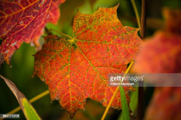 red autumn leaf - william mevissen stock pictures, royalty-free photos & images