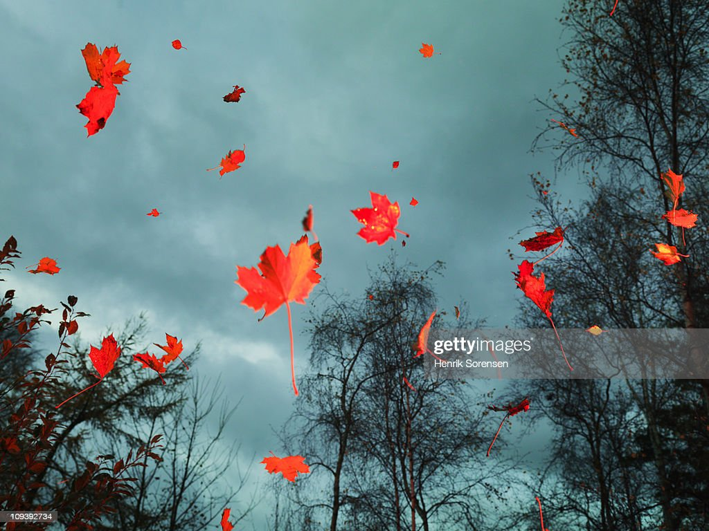 Red autumn leaves falling in the woods : Stock Photo
