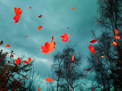 Red autumn leaves falling in the woods - gettyimageskorea