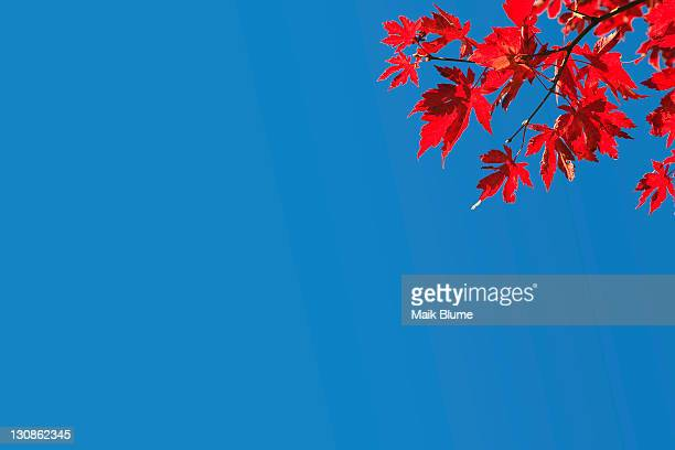 Red autumn leaves on a tree in sunny weather