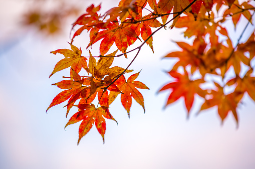 Red autumn leaves - Osaka - Japan - gettyimageskorea