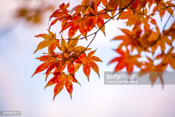 Red autumn leaves - Osaka - Japan