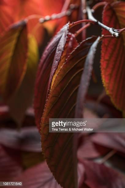 red autumn leaves - エウロパ ストックフォトと画像