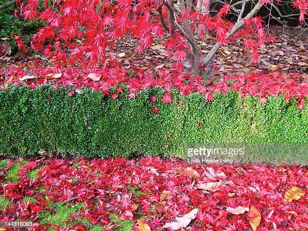 red autumn leaves - arboreto foto e immagini stock