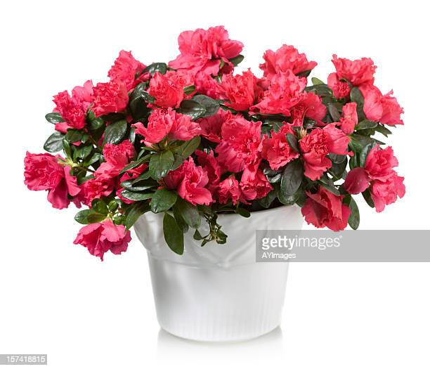 "red azalea ""christmas cheer"" - azalea stock pictures, royalty-free photos & images"