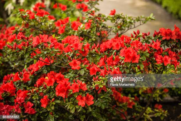 red azalea in full bloom - azalea stock pictures, royalty-free photos & images
