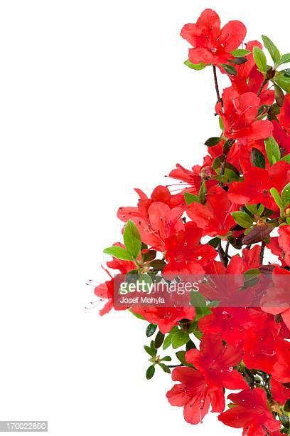 red azalea - azalea stock pictures, royalty-free photos & images