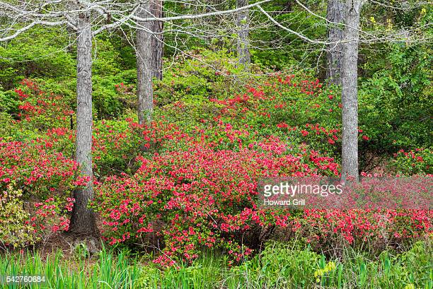 red azaleas and trees - deciduous tree stock pictures, royalty-free photos & images