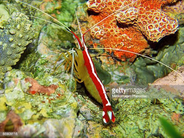 Red Backed Cleaner Shrimp