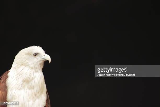 red backed eagle - haliastur indus - chicken hawk stock pictures, royalty-free photos & images