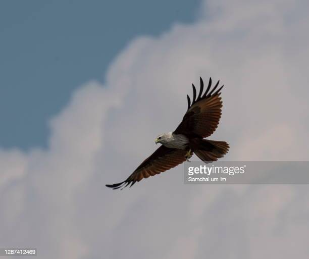a red backed sea eagle flying in the blue sky - um animal stock pictures, royalty-free photos & images