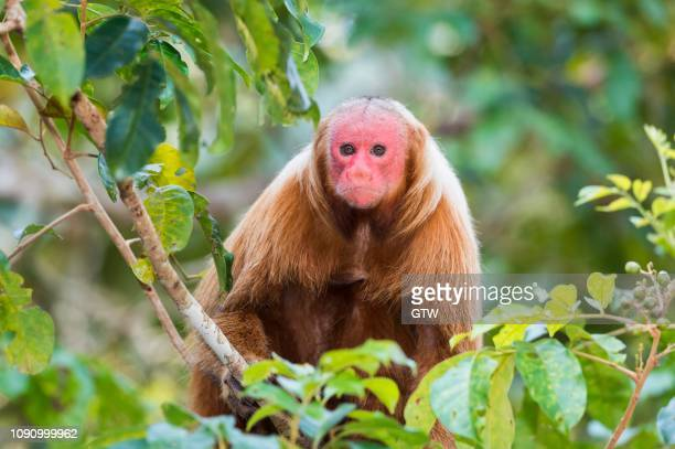Red Bald-headed Uakari, also known as British Monkey (Cacajao calvus rubicundus), Amazonas State, Brazil