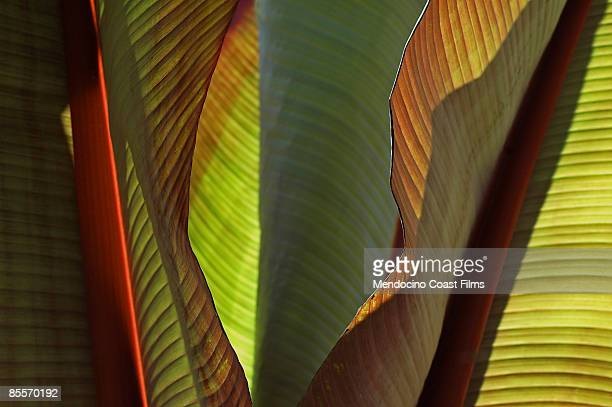 Red Banana Leaves - Perennial Ensete