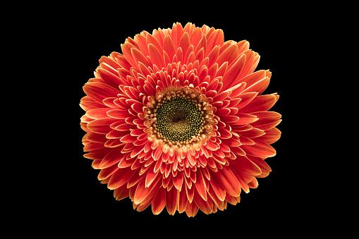Red Barberton Daisy Flower against Black Background - gettyimageskorea