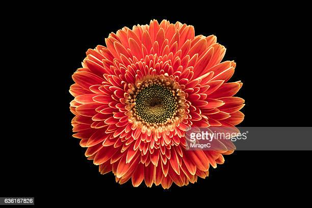 red barberton daisy flower against black background - flower head stock pictures, royalty-free photos & images