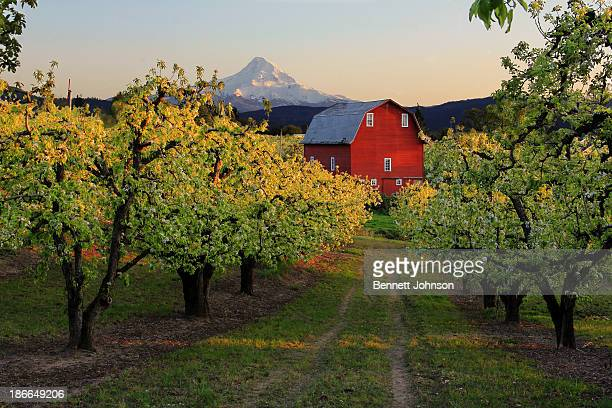 CONTENT] red barn and blossoming pear trees in the glow of sunset in the Hood River valley in Oregon