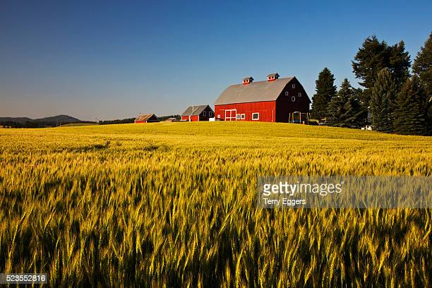 Red Barn in Field of Harvest Wheat