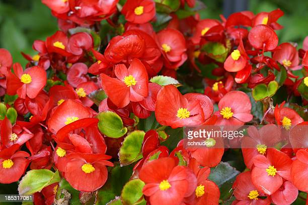 red begonias - begonia stock pictures, royalty-free photos & images