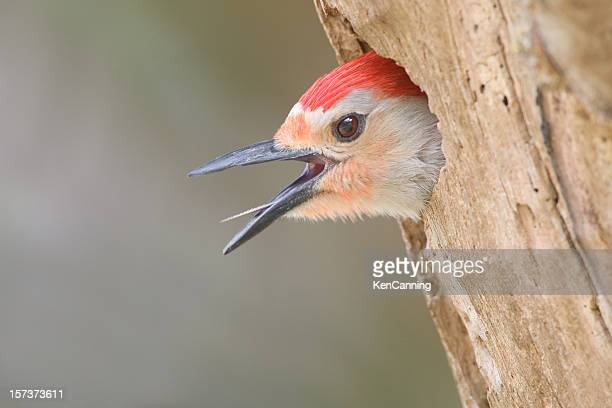 red bellied woodpecker calling, head close up - anhinga_trail 個照片及圖片檔