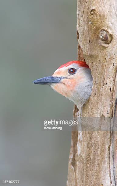 Red Bellied Woodpecker in Tree Hollow Nest