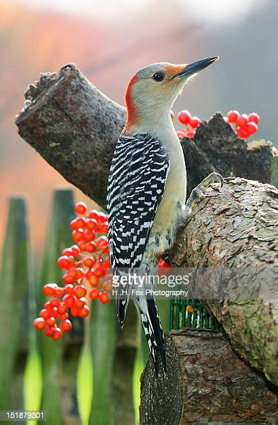 Red Bellied Woodpecker perched on tree in autumn