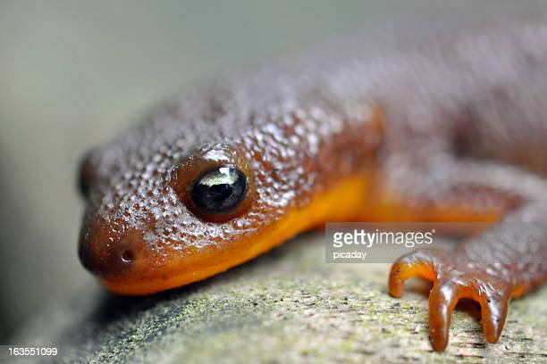 Red Belly Newt