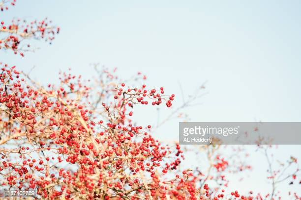red berries against a pale blue autumnal sky - hawthorn,_victoria stock pictures, royalty-free photos & images