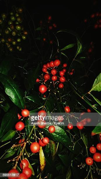 Red Berries Growing On Plants At Night