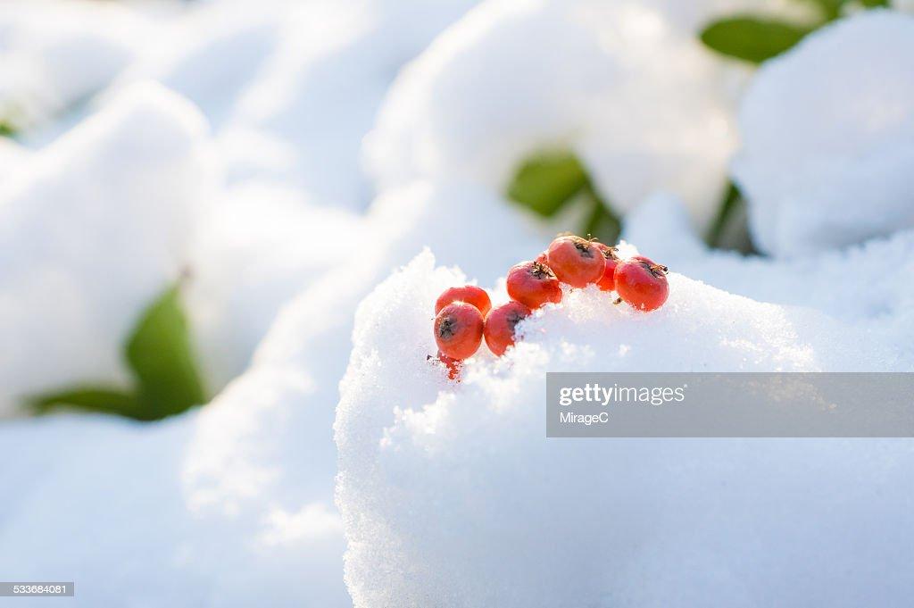 Red berries in snow : Foto stock