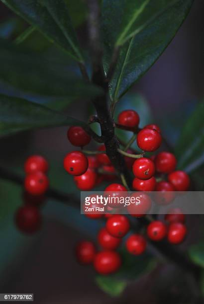 Red berries of Dahoon holly, Ilex Cassine