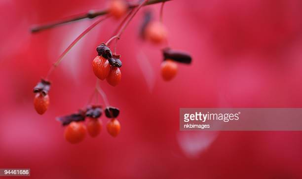 red berries on a burning bush plant - burning bush stock pictures, royalty-free photos & images