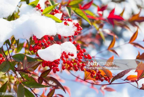 Red Berries On An Autumn Coloured Tree With Clumps Of Snow On The Branches